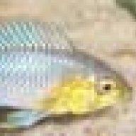 Lisachromis